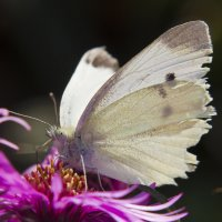 бабочка :: Ирина Масальская