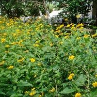 Буйное цветение санвиталии :: Нина Корешкова