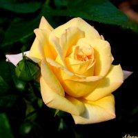 Золотится роза чайная.. :: Андрей Заломленков