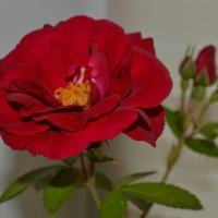 мамина роза :: svrotko