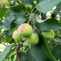Яблочки в сквере... :: Наиля