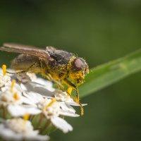 мухи тоже любят мёд :: Александр Михеев