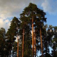 Сосны, освещенные вечерним солнцем :: Андрей Лукьянов