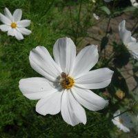Космея Белая соната... :: Galina Dzubina