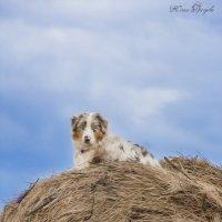 пастух :: Юлия Дроздова