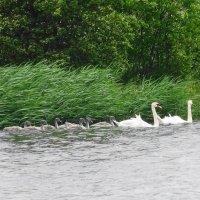 Лебединый выводок на озере :: Маргарита Батырева