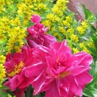 Розовый пион в жёлтом окружении :: Дмитрий Никитин