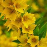 Жёлтые цветы :: Роман Кудрин