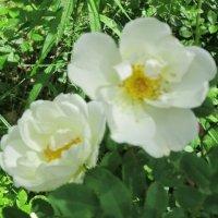 Две розы белых :: Дмитрий Никитин