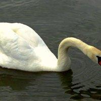 Лебедь :: Сергей Карачин