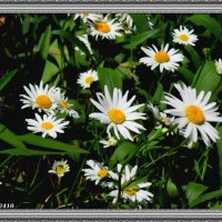 Ромашковое лето :: Нина Бутко