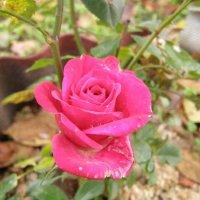 Поздняя осень Роза :: Анна Воробьева