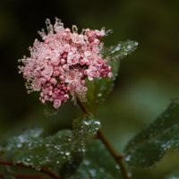 Цветок в утренней росе :: Ольга Щербакова