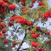 Рябины гроздья алые ... :: Валентина ツ ღ✿ღ