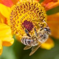 Пчела и гелениум :: Александр Синдерёв