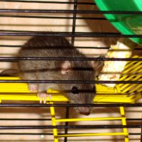 Урсик – раскрытие крысиной тайны :: Наталья (ShadeNataly) Мельник