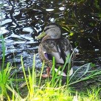Утки утром на озере :: Маргарита Батырева