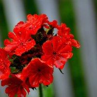 Красный цветок :: Роман Кудрин