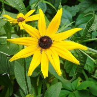 Рудбекия - лучезарный цветок :: Маргарита Батырева