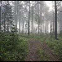 Туманное утро в сосновом лесу :: Михаил Онипенко