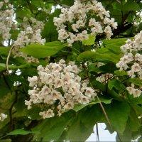 Цветение катальпы в нашем дворе :: Нина Корешкова