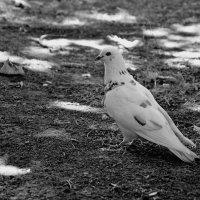 Белый голубь :: Игорь Попов