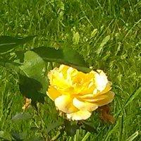 Розочка из сада Санн-Галли (Санкт-Петербург). :: Светлана Калмыкова