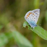 Бабочка голубянка аргус :: Александр Синдерёв