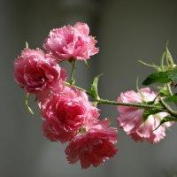 Этюд с розами. :: Алексей Цветков