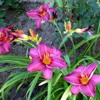 Лилейник в июле... :: Тамара (st.tamara)