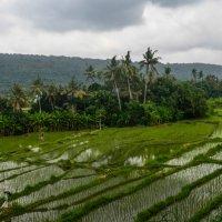 Рисовые поля на острове Бали :: Oleg Khudoleev