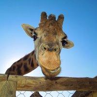 Жираф большой,ему видней :: Александр