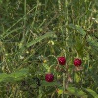 Сладку ягоду рвали вместе... :: Сергей Цветков