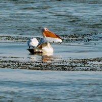 Пеликан на лимане :: Дарья Неживая