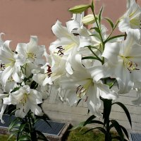 Белые лилии у Президентского дворца в Кадриорге :: Елена Павлова (Смолова)