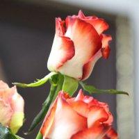 розы :: Larisa Trush