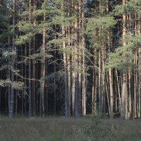 сосновый бор :: Яков Реймер