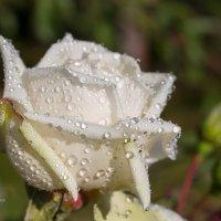 Белая роза в каплях воды :: Александр Синдерёв