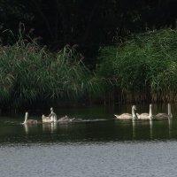 Лебединая молодёжь на озере :: Маргарита Батырева