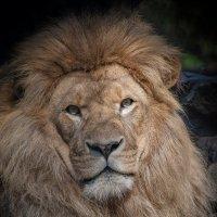 Африканский лев :: Владимир Габов