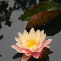 Цветок на пруду :: Елена Кадиева