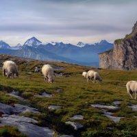 овцы-путешественницы :: Elena Wymann