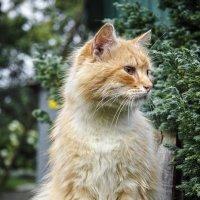 Ginger :: Евгений Улащик