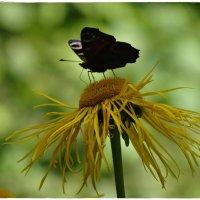 бабочка :: Natalia Mihailova