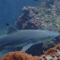 Черноперая рифовая акула :: Oleg Khudoleev