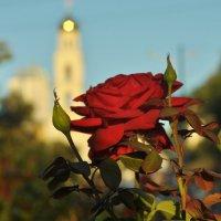 Роза в городе :: Albina