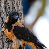 Необычная Ворона :: Aleks Ben Israel