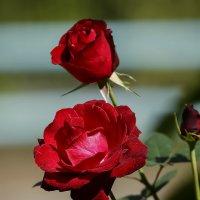 Розы. :: Виктор Шпаков