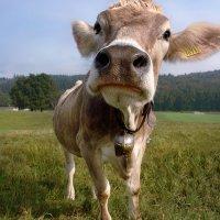 внимательная корова :: Elena Wymann