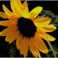 Вобравший солнечный свет! :: Нина Корешкова